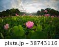 臼杵市 蓮 花の写真 38743116