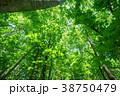 新緑 森林 若葉の写真 38750479