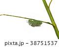 Fagara Silkworm on branches isolate  38751537