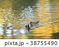 鳥 緋鳥鴨 池の写真 38755490