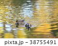 紅葉時期のヒドリガモ 38755491