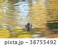 紅葉時期のヒドリガモ 38755492