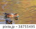 鳥 緋鳥鴨 池の写真 38755495