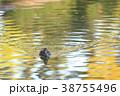 紅葉時期のヒドリガモ 38755496
