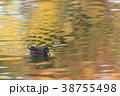 紅葉時期のヒドリガモ 38755498