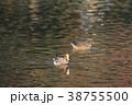 鳥 緋鳥鴨 池の写真 38755500
