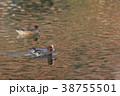 紅葉時期のヒドリガモ 38755501