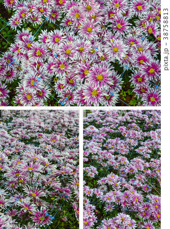 Abstract background of pink flowers 38758813