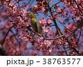 オカメザクラとメジロ 38763577