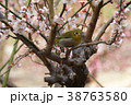 梅とメジロ 38763580