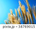 薄 秋 すすきの写真 38769015