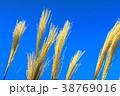 薄 秋 すすきの写真 38769016