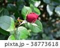 薔薇のつぼみ 38773618
