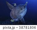 バリ島にてマンボウのスパ 38781806