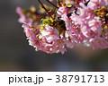 河津桜 38791713
