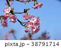 河津桜 38791714