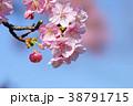河津桜 38791715