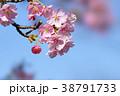 河津桜 38791733