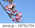 河津桜 38791734
