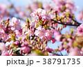 河津桜 38791735
