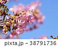 河津桜 38791736