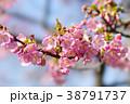河津桜 38791737