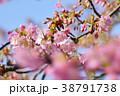 河津桜 38791738