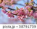 河津桜 38791739