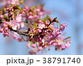 河津桜 38791740