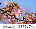 河津桜 38791741