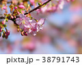河津桜 38791743