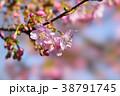 河津桜 38791745