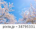 【山梨県】桜の木 38795331