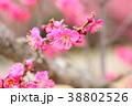 花 アップ 紅梅の写真 38802526