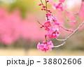 花 アップ 紅梅の写真 38802606