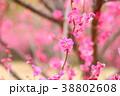 花 アップ 紅梅の写真 38802608