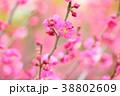 花 アップ 紅梅の写真 38802609