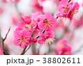 花 アップ 紅梅の写真 38802611