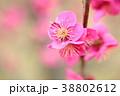 花 アップ 紅梅の写真 38802612
