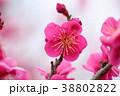 花 アップ 紅梅の写真 38802822