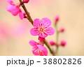 花 アップ 紅梅の写真 38802826