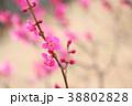 花 アップ 紅梅の写真 38802828
