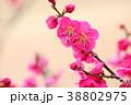 花 アップ 紅梅の写真 38802975