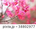 花 アップ 紅梅の写真 38802977
