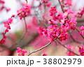 花 アップ 紅梅の写真 38802979
