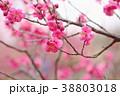 花 アップ 紅梅の写真 38803018