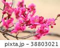 花 アップ 紅梅の写真 38803021
