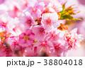 桜 河津桜 花の写真 38804018