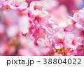 桜 河津桜 花の写真 38804022