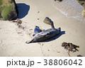 アメリカ合衆国カリフォルニア州サンディエゴのラホヤの海岸のアザラシの群れ 38806042